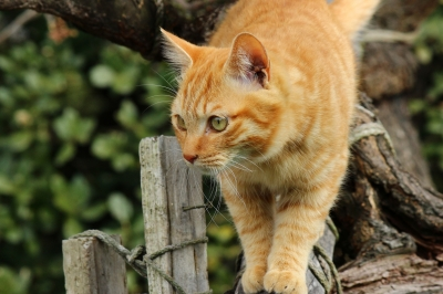 soku_24386.jpg :: 動物 哺乳類 猫 木にネコ