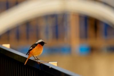 soku_24429.jpg :: 動物 鳥 野山の鳥 ジョウビタキ
