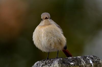 soku_24430.jpg :: 動物 鳥 野山の鳥 ジョウビタキ
