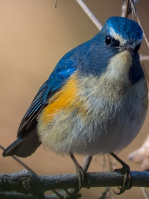 soku_24431.jpg :: 動物 鳥 野山の鳥 ルリビタキ