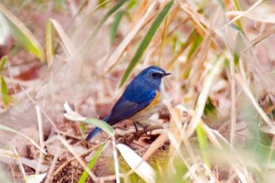 soku_24445.jpg :: 動物 鳥 野山の鳥 ルリビタキ