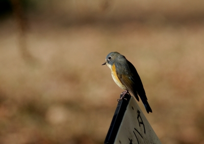 soku_24448.jpg :: 動物 野鳥 ルリビタキ