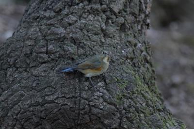 soku_24455.jpg :: 動物 野鳥 ルリビタキ