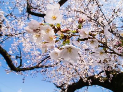 soku_24465.jpg :: 植物 花 桜 サクラ 広角