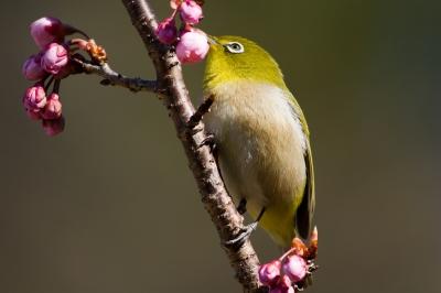 soku_24599.jpg :: 動物 鳥 野山の鳥 メジロ