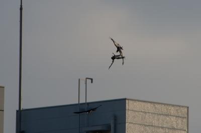 soku_24615.jpg :: 動物 鳥 カラス 空中戦