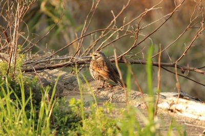 soku_24624.jpg :: 動物 鳥 野鳥 自然の鳥 未記入鳥
