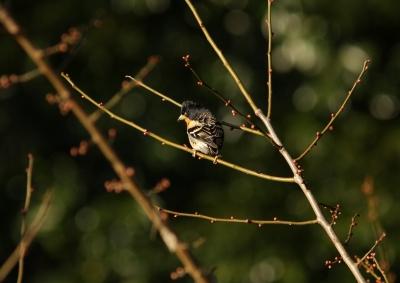 soku_24697.jpg :: 動物 野鳥 アトリ 梅