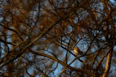 soku_24699.jpg :: 動物 鳥 野山の鳥 アトリ