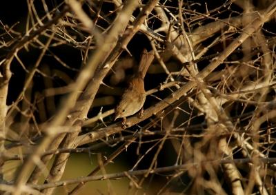 soku_24701.jpg :: 動物 野鳥 ウグイス