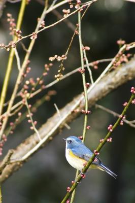 soku_24748.jpg :: 動物 鳥 野山の鳥 ルリビタキ 植物 花 梅 ウメ