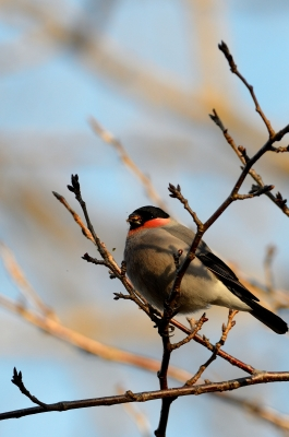 soku_24751.jpg :: 動物 鳥 野山の鳥 ウソ