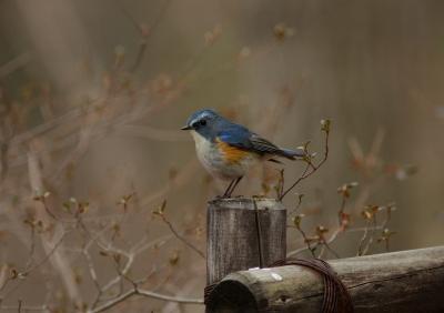 soku_24754.jpg :: 動物 野鳥 ルリビタキ