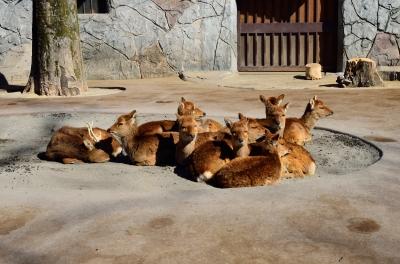 soku_24769.jpg :: 動物 哺乳類 井の頭自然文化園 鹿