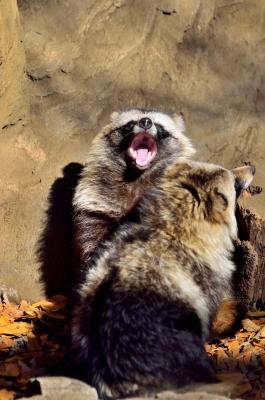 soku_24770.jpg :: 動物 哺乳類 井の頭自然文化園 タヌキ