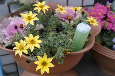 soku_24823.jpg :: 植物 花 黄色い花 プランター
