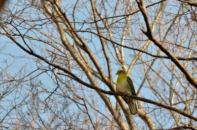 soku_24832.jpg :: 動物 鳥 野山の鳥 アオバト