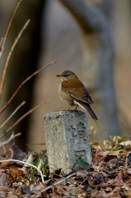 soku_24837.jpg :: 動物 鳥 野山の鳥 シロハラ
