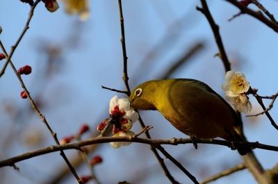 soku_24841.jpg :: 動物 鳥 野山の鳥 メジロ 梅 ウメ