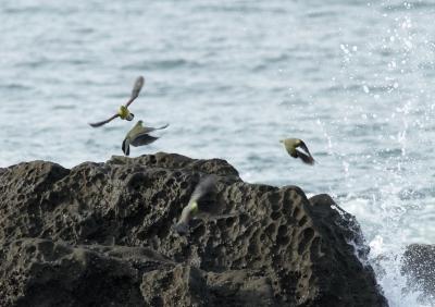 soku_24842.jpg :: 動物 野鳥 アオバト 海