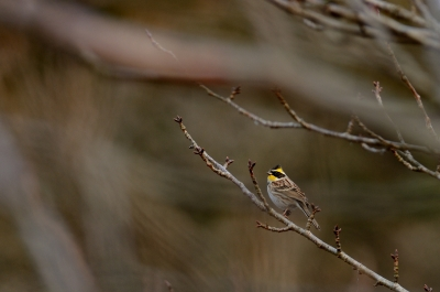 soku_24856.jpg :: 動物 鳥 野山の鳥 ミヤマホオジロ