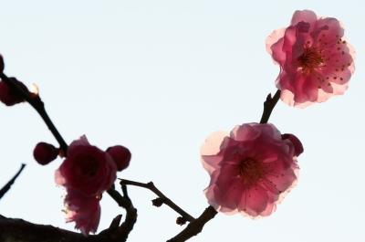 soku_24970.jpg :: 植物 花 梅 ウメ