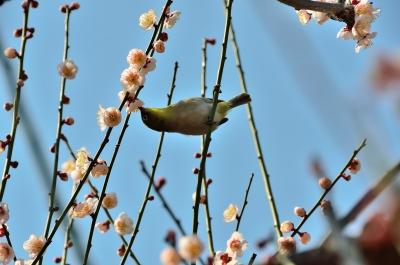 soku_25022.jpg :: 植物 花 梅 ウメ 動物 鳥 野山の鳥 メジロ