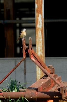 soku_25115.jpg :: 動物 鳥 野山の鳥 セアカモズ