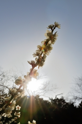soku_25139.jpg :: 植物 花 梅 ウメ