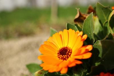 soku_25141.jpg :: 植物 花 オレンジ色の花 ガーベラ