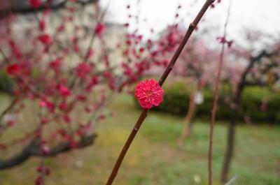 soku_25161.jpg :: 植物 花 梅 ウメ