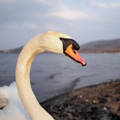 soku_25193.jpg :: 動物 鳥 白鳥 ハクチョウ