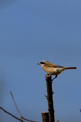 soku_25223.jpg :: 動物 鳥 野山の鳥 セアカモズ