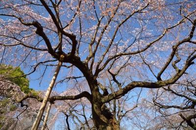 soku_25309.jpg :: 公園 新宿御苑 桜