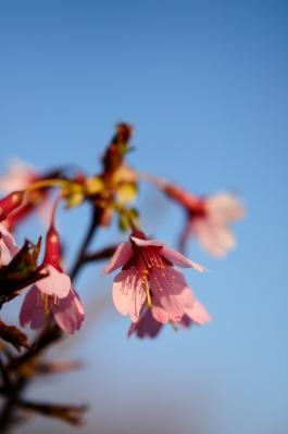 soku_25369.jpg :: 植物 花 桜 サクラ