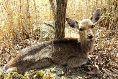 soku_25378.jpg :: 動物 哺乳類 鹿 シカ