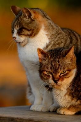 soku_25379.jpg :: 動物 哺乳類 猫 ネコ