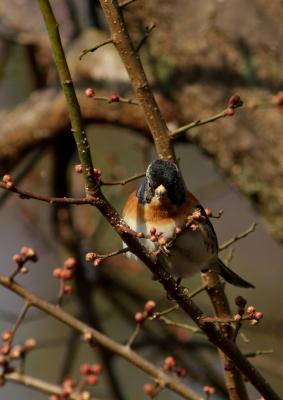 soku_25454.jpg :: 動物 野鳥 アトリ 梅