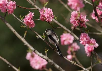 soku_25456.jpg :: 動物 野鳥 エナガ 花桃