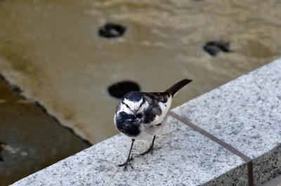 soku_25486.jpg :: 動物 鳥 野鳥 自然の鳥 ハクセキレイ