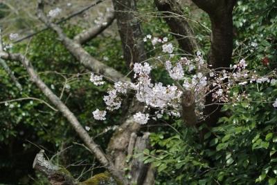 soku_25528.jpg :: 植物 花 桜 サクラ