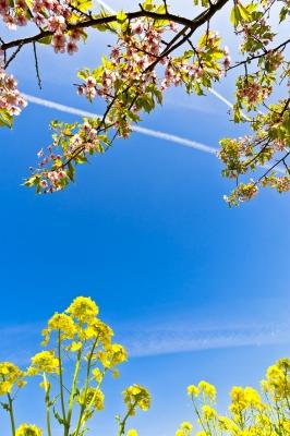 soku_25547.jpg :: 河津桜 桜 風景 植物 花 菜の花