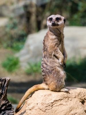 soku_25563.jpg :: 動物 哺乳類 ミーアキャット