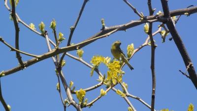 soku_25590.jpg :: 動物 鳥 野鳥 自然の鳥 メジロ