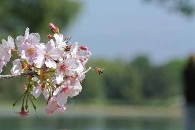 soku_25591.jpg :: 桜と蜂