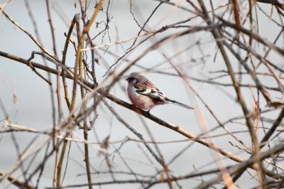 soku_25597.jpg :: 野鳥 ベニマシコ