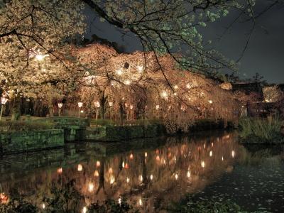 soku_25670.jpg :: 植物 花 桜 サクラ 夜桜 三嶋大社