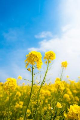 soku_25694.jpg :: 植物 花 菜の花 風景