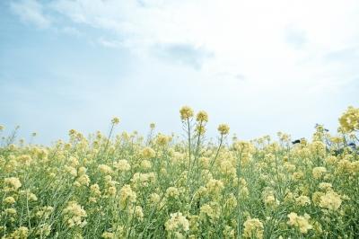 soku_25695.jpg :: 菜の花 植物 花 風景