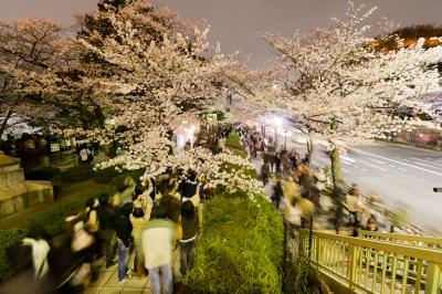 soku_25705.jpg :: 植物 花 桜 サクラ 夜桜 夜景
